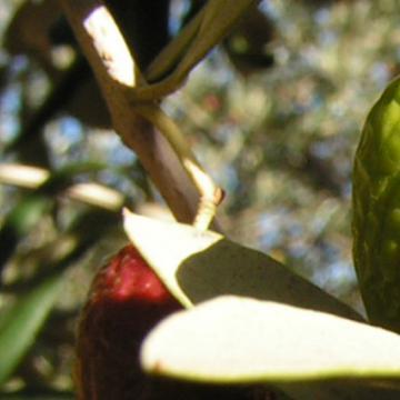 L'huile d'olive du Moulin <span>de Geyssière</span>
