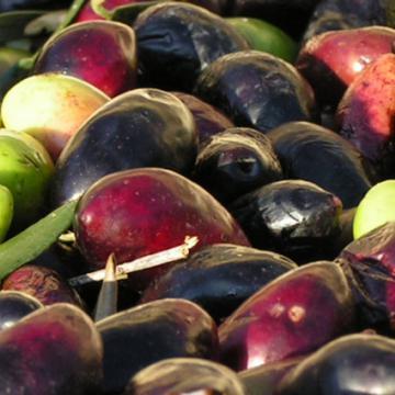 Elaboration de L'huile d'olive